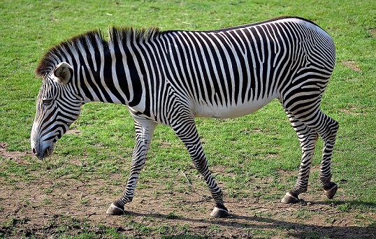 Zebra stripes may 'dazzle' pathogen-packing horse flies, say scientists