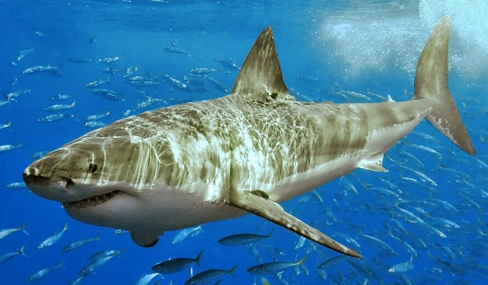 Study indicates as great white shark disappears, living fossil moves in