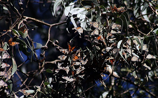 Report indicates Mexican monarch butterfly population at ten-year high, reasons unclear